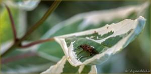 Thomise et moustique-2
