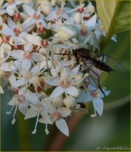 Thomise et moustique
